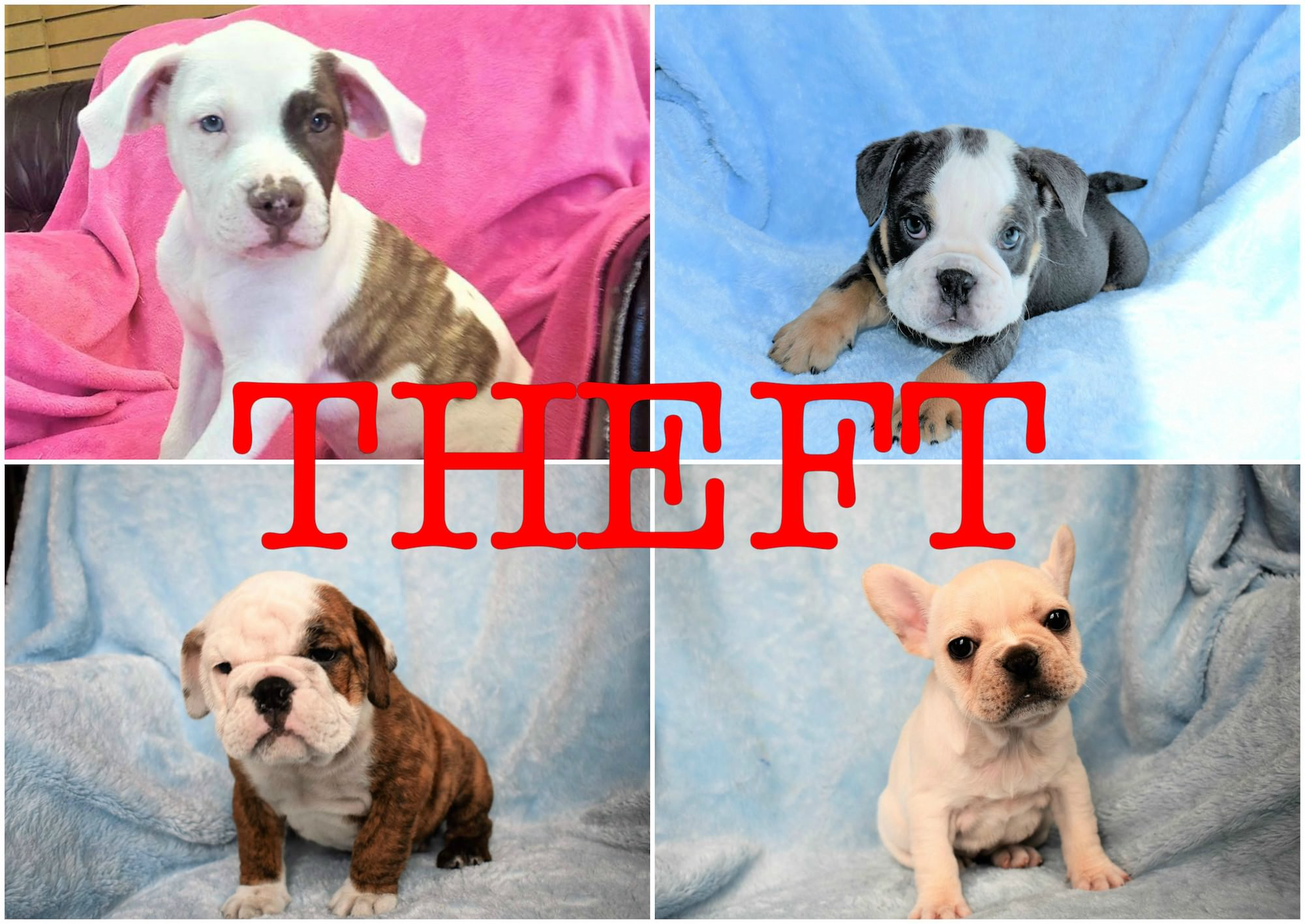 Two puppies stolen from The Velvet Poodle located two others still missing