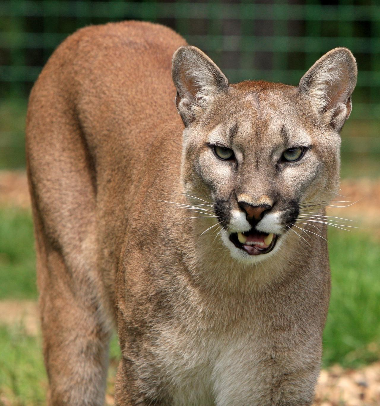 Mountain lion was reportedly spotted on Sioux Citys Westside Saturday morning